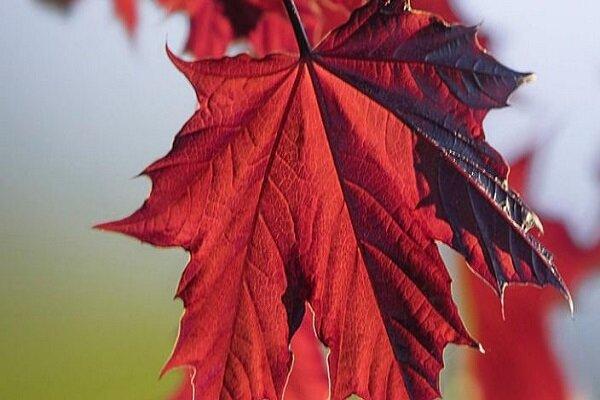 درخت افرا در مقابل اشعه ماوراء بنفش محافظترین است