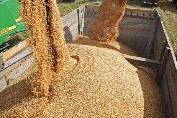 تولید ۳۸۰ هزارتن بذر گندم