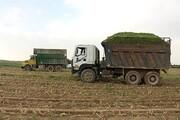 برداشت ۷۰۰ تن ذرت علوفهای از مزارع تحقیقاتی دانشگاه آزاد اسلامی اراک