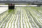 افزایش ۴ برابری تولید بذور الیت و سوپر الیت برنج در کشور