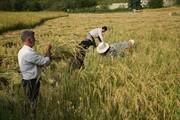 ۵۵ هزار هکتار از شالیزارهای استانهای شمالی زهکشی میشود
