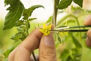 بومیسازی بذر هیبریدی در شرکت نگین بذر دانش