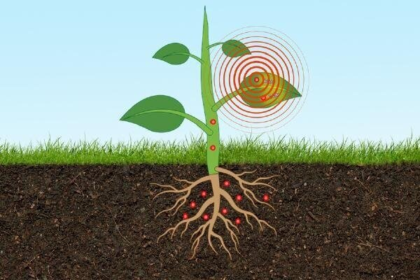کاشت حسگر در بافت گیاهان برای یافتن آرسنیک