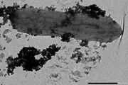 کشف باکتری که در برابر سمیترین فلزات مقاوم است