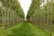 پیش بینی ۱۰۰ هزار هکتار زراعت چوب طی ۶ سال در ناحیه رویشی زاگرس