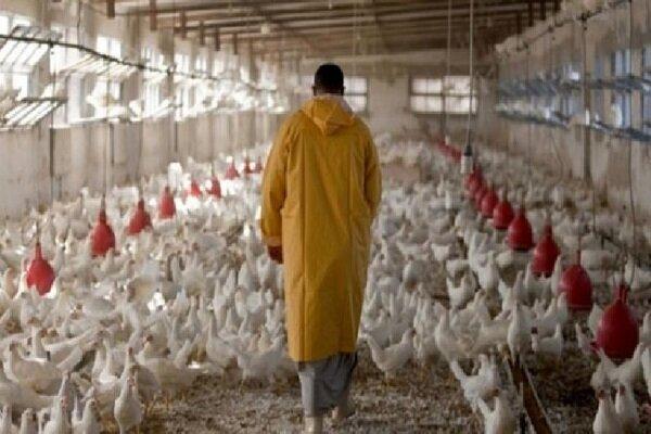 شکل گیری مافیا در خوراک دامی/ تهدید مرغداران به منع تولید جوجه