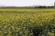 برداشت دانههای روغنی از مزارع دانشگاه آزاد اسلامی استان مرکزی