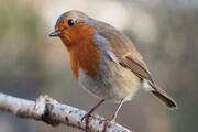 پرندگان از فیزیک کوانتوم برای جهتیابی استفاده میکنند