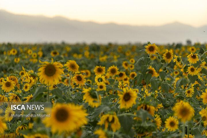 مزرعه ای به سوی آفتاب