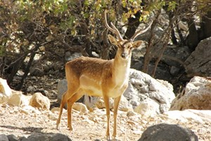 گوزن زرد ایرانی؛ پستانداری درحال انقراض