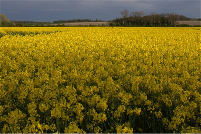 کشت قراردادی ۲۰۰ هزار هکتار دانه های روغنی در سال زراعی جاری