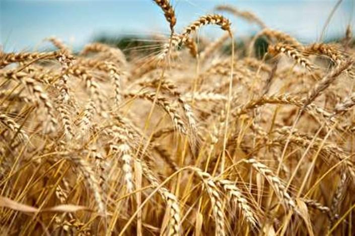 ادامه ی صادرات گندم برای حفظ اشتغال زایی