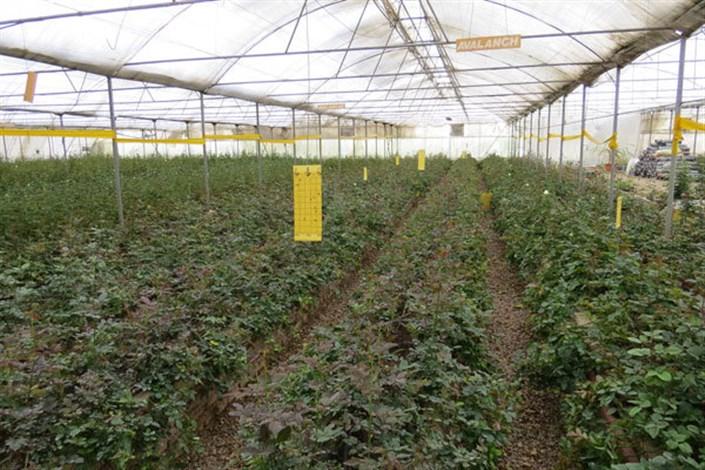 پرداخت تسهیلات ارزان قیمت برای توسعه کشت های گلخانه ای