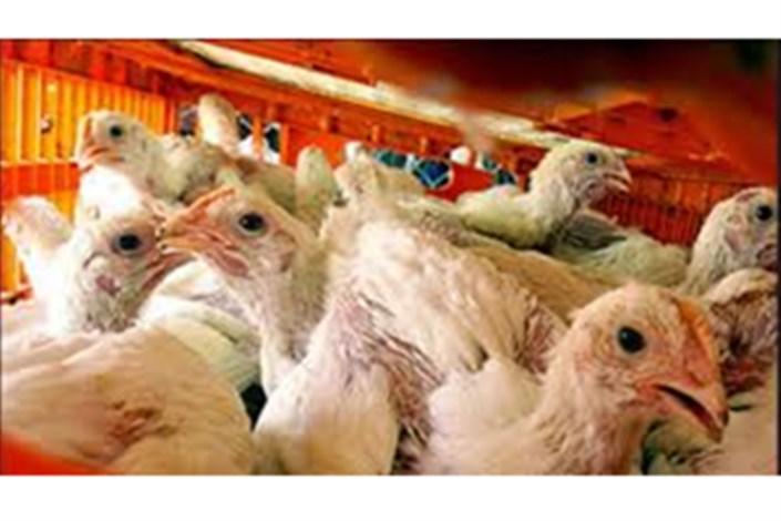 احتمال شیوع مجدد بیماری آنفلوانزای فوقحاد پرندگان