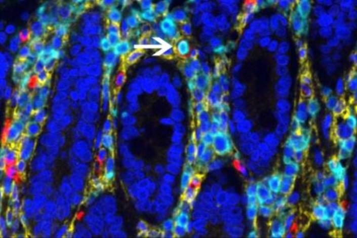 درصدی از سلول های خونی در روده ساخته می شوند