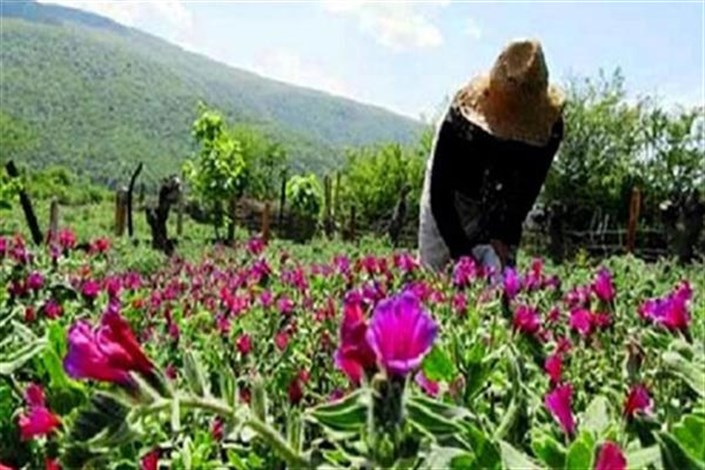 حمایت از 48 طرح توسعه کشت و فرآوری اولیه گیاهان دارویی