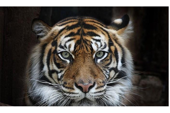 علت تلف شدن یک قلاده ببر در باغ وحش صفا دشت/منتظر نتایج کالبدشکافی هستیم