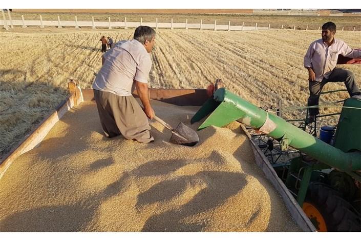 برداشت ۵۲ تُن گندم از مزارع تحقیقاتی دانشگاه آزاد اسلامی بهبهان