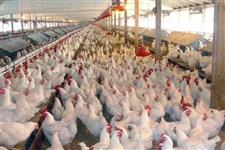 مردم به هیچ وجه مرغ زنده نخرند