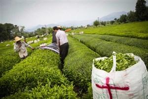 ٧٨ هزار تن برگ سبز چای تولید شد