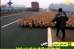 ویدیو /  کمک پلیس چین به عبور ۱۳۰۰ غاز از خیابان