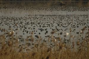 ورود مدعیالعموم به تخلفات صید و عرضه غیرقانونی پرندگان مهاجر در بازار فریدونکنار