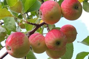 1500 تن سیب برای شب عید استان تهران ذخیره سازی شد