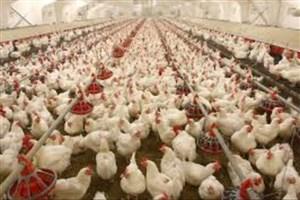 دستور رسیدگی فوری به مشکلات مرغداران/ ۸۰۰ تن گوشت مرغ مازاد تولیدکنندگان خریداری میشود
