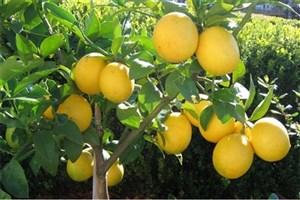 معاون حجتی:  قاچاق میوه منجر به نابودی باغات لیموترش شد