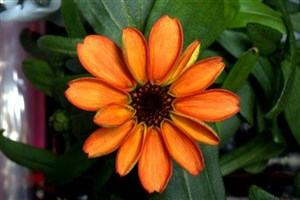 Flower Grown on the ISS