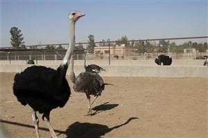 شتر مرغ تنها پرنده ای که تب کریمه کنگو را انتقال میدهد