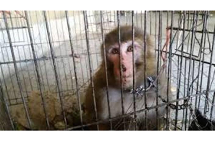 میمون های وارداتی