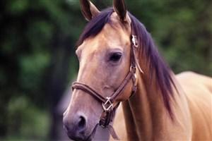 خراسان شمالی در زیرساختهای توسعه صنعت اسب ترکمن ضعیف است