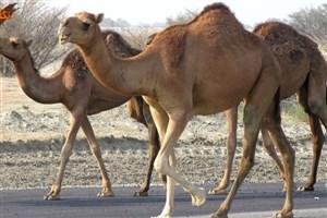 واردات شتر به کشور با مجوز بازارچههای مرزی است