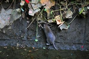 امپراتوری یکمیلیونو ۴۰۰ هزار موش  در تهران /بیشترین موش در خیابان ستارخان و  ولیعصر