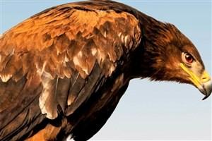 عقاب شاهی از روسیه سفر کرد و در ایران زمین گیر شد