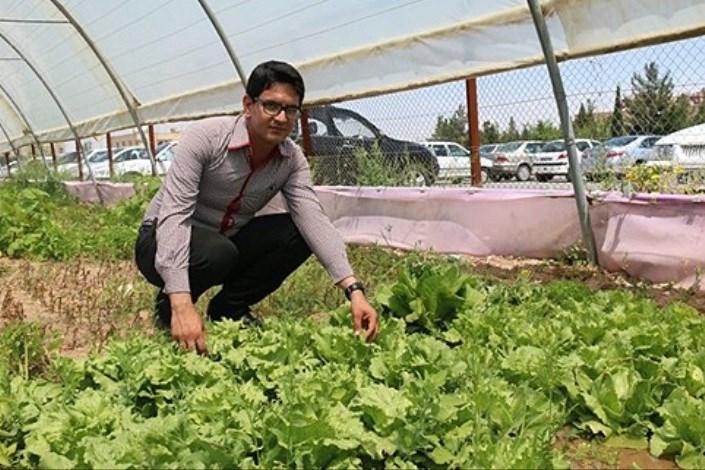 دانشجوی رشته گیاهپزشکی واحد یزد موفق به کاشت کاهوپیچ هلندی در گلخانه این دانشگاه شد