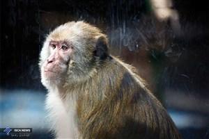 حدیث بیقراری/زندگی میمون در ایران