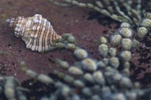 تخم حلزون دریایی قاتل بالقوه سرطان است