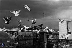 اقتصاد کبوتر شرط بندی در مسابقه های کبوترپرانی ایسکانیوز | کبوتر