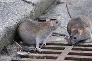 جمعیت موش های پایتخت کم می شود/استفاده از فوم تزریقی بعد از گذشت 5 ماه