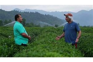 معضلات کشاورزان و کارخانه داران صنعت چای در مستند «چای ایرانی»