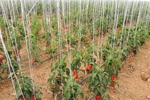 دومین محصول گلخانه هوشمند واحد دهاقان