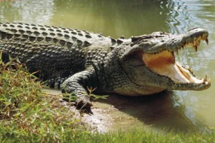 حمله تمساح به پسر 10 ساله در چابهار