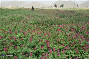 برداشت 300 کیلو گل گاو زبان از مزرعه تحقیقاتی دانشگاه آزاد اسلامی شهرضا