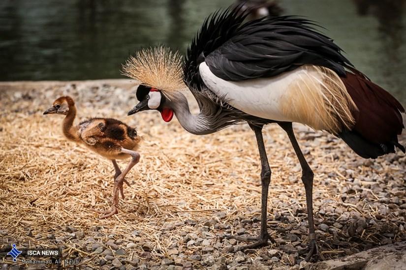تولد درنای تاجدار در باغ پرندگان