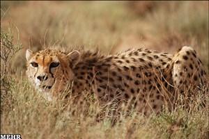 در ایران تنها دو یوزپلنگ ماده داریم /قدم آخر نماد ملی تا انقراض