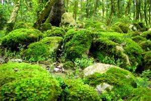 از بین رفتن 40 میلیون اصله درخت شمشاد کذب است
