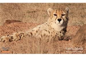 آخرین وضعیت یوزپلنگ ایرانی در«طبیعت 360 درجه»