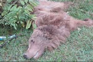 مرگ خرس قهوه ای به علت قطع شدن دستش در مازندران/ تصاویر